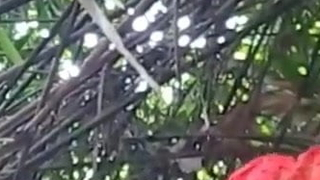 Vilupuram tamil college girl engulfing her beau cock in forest